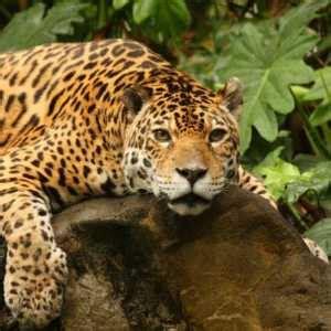 is a jaguar faster than a cheetah jaguar animal speed