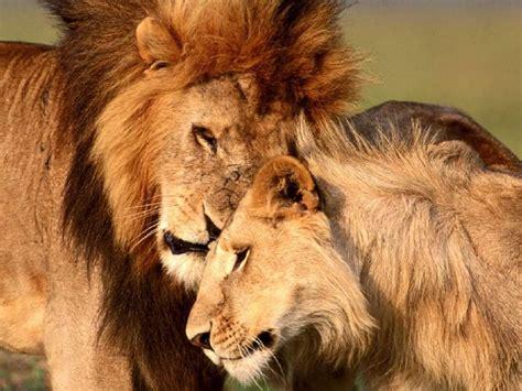 imágenes de leones juntos la vida de los leones