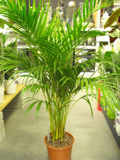 Tanaman Hias Calathea Zebrina tanaman hias indoor pembersih udara rooang
