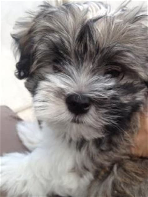 bichon havanese for sale 25 best ideas about havanese puppies on cockapoo puppies dogs and
