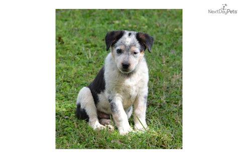 australian shepherd blue heeler puppies australian shepherd heeler heeler puppies breed breeds picture