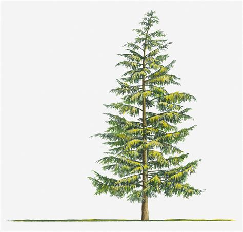 evergreen tree tattoo illustration of large evergreen tsuga heterophylla