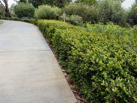 garden hedge types seven clarifications on garden hedge types garden hedge