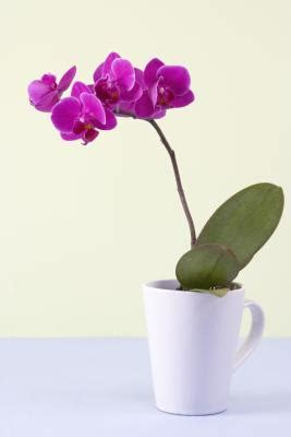 what to do with an orchid after the flowers fall off home guides sf gate