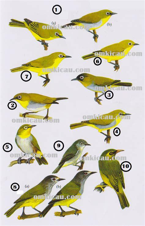Obat Mata Kuningan menangkar burung pleci perlu banyak kalsium dan protein