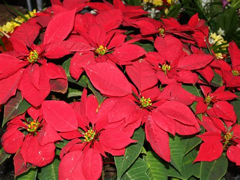 poinsettias are synonymous with christmas office plants blog