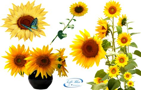 sunflower latest version    icons