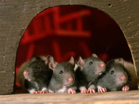 foods that are poisonous to your rat pethelpful