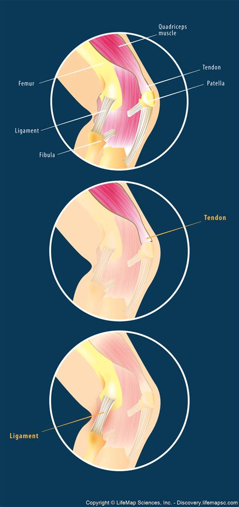 anatomical distribution of knee joint pain movements cartilages