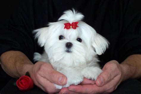 baby maltese puppies always maltese maltese maltese breeders
