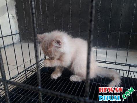 Kitten Medium Lucu 1 ekor kucing medium bonus pakan proplan kitten 2