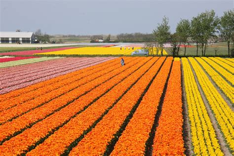 netherlands tulip fields tulip fields netherlands most beautiful places in the world