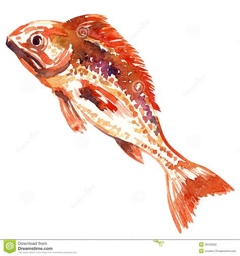 red fish watercolor painting stock illustration image