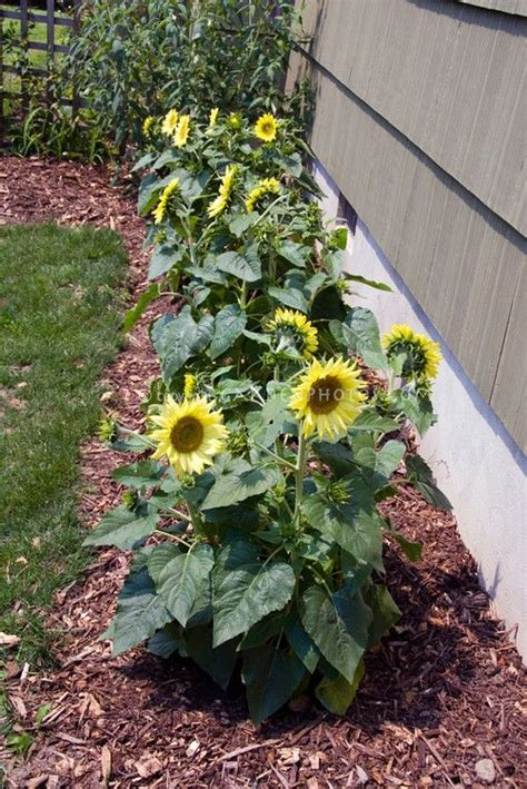 Sunflower Garden Ideas Best 25 Growing Sunflowers Ideas On Pinterest