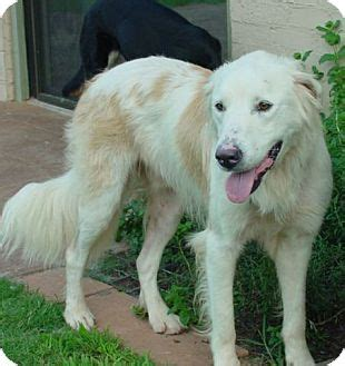 pyrenees golden retriever mix golden retriever and great pyrenees mix photo