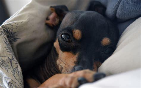 min pin shih tzu mix for sale shih tzu min pinscher dogs breeds picture