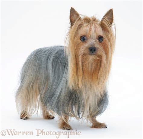 yorkie puppy coat terrier in show coat photo wp18971