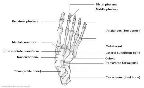 labelled diagram of foot bones of diagram foot diagrams for drawing