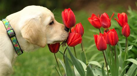 sniffing dogs sniffing tulips flowers wallpapers 1600x900 420446