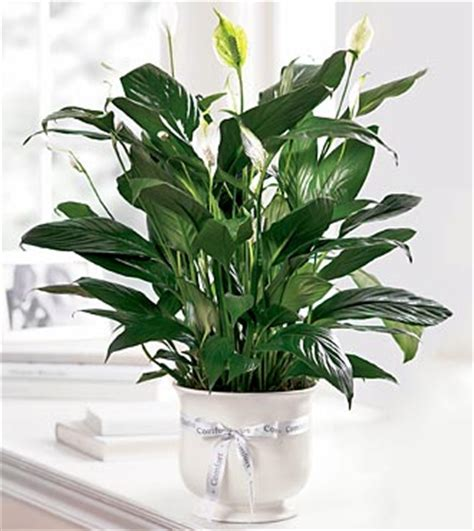 Ftd Comfort Planter Sympathy Flowers Flowers Fast