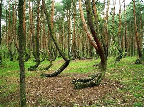 crooked forest poland crooked drunken and dancing forests amusing planet