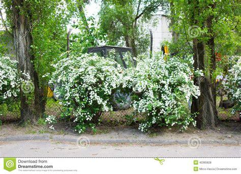 cespugli fiori bianchi arbusto dei fiori bianchi fotografia stock immagine di