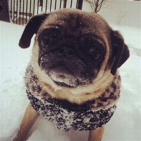 i am a pug i am a miffed snow pug animal photo