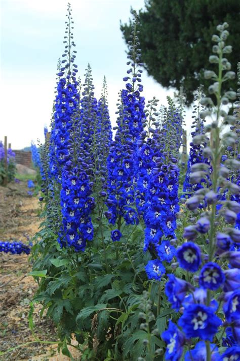 17 Best Images About Ridderspoor Delphinium On Pinterest Blue Flowers For Garden