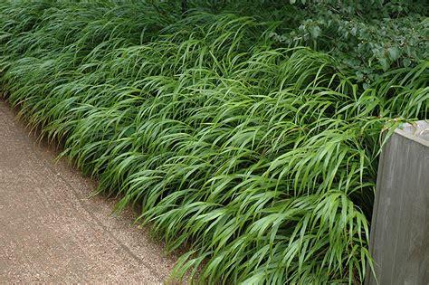 Perennial Garden Design Zone - japanese woodland grass hakonechloa macra in winnipeg headingley oak bluff manitoba mb at