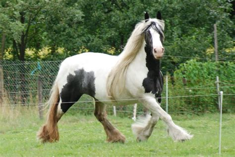 nice hourse panoramio photo of nice coloured tinker horse irish
