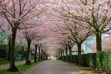 cherry blossom festival vancouver cherry blossom festival
