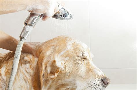 how to bathe a puppy how to wash my grooming bathing
