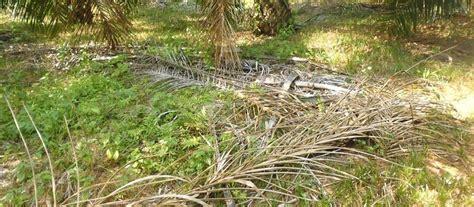 Pupuk Kompos Dari Sah Organik manfaat utama pupuk organik untuk tanaman sawit cari tau