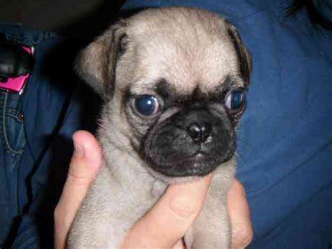 perros pug bebes hermosos bebes pugs escobedo animales