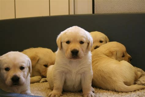 Lab Puppies Puppy Dogs Yellow Labrador Retriever Puppies