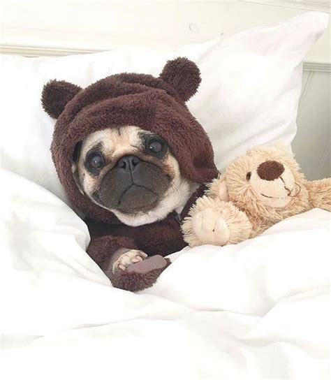 pug finder best 25 pugs in costume ideas on