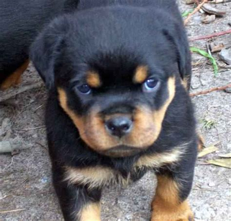 rottweiler puppy breeders rottweiler puppies 19 photos the bully breeds