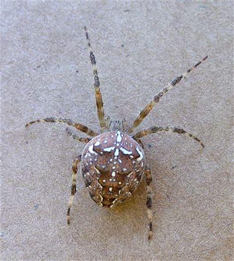 Brown Garden Spider brown garden spider a closer look photography