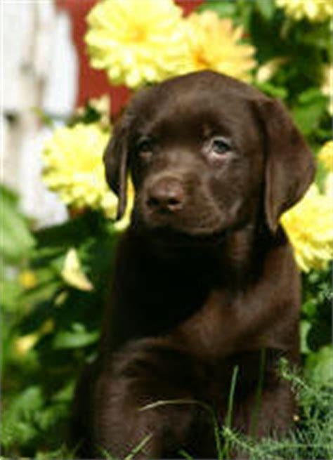 chocolate lab puppies for sale in louisiana labrador retriever chocolate for sale dogs in our photo