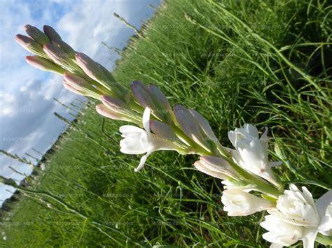 imagenes de flores nardos foto detalle de la inflorescencia en espiga de nardo