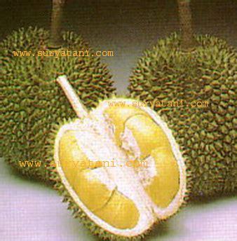 Bibit Anggur Di Trubus jual bibit bibit buah jual bibit buah jual bibit bibit buah bibit unggul trubus