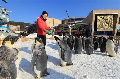 Emperor Penguin Next To Human
