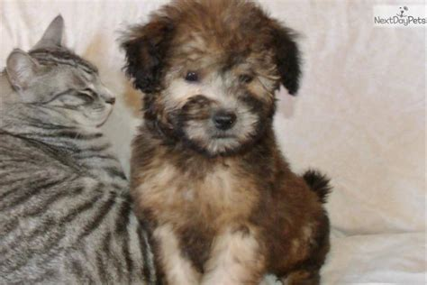 whoodle puppies for sale near me whoodle puppy for sale near los angeles california b21d48d7 7271