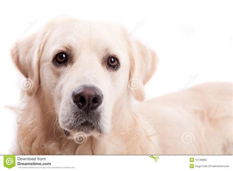 golden retriever portrait golden retriever portrait stock photography image 12746862