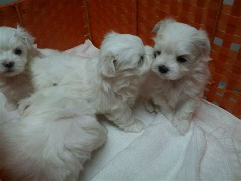 baby maltese puppies baby maltese kisses dogs puppies