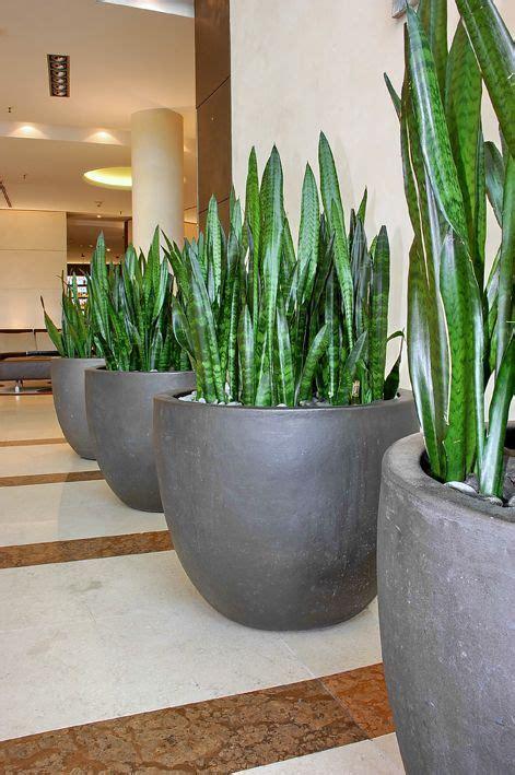 sansevieria snake plants pinterest