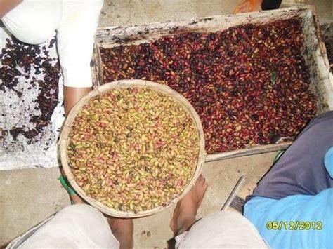 Biji Bibit Cengkeh dinomarket 174 pasardino benih cengkeh zanzibar biji cengkeh zanzibar