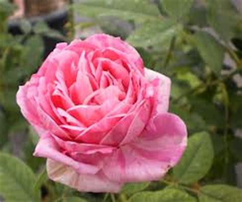 Mawar Moss jenis bunga mawar iqbal parabi