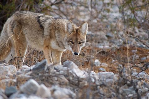 what does it when a howls pack of coyotes howling www imgkid the image kid has it