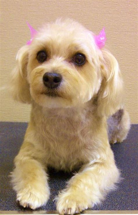 yorkie poi hair ut yorkiepoo haircuts modoffice archives yorkie poo hair